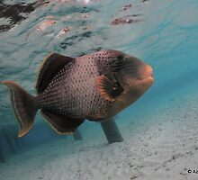 Titan Trigger Fish by Aziz T. Saltik