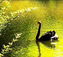 Black Swan by paulgoslingart