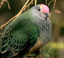 Rose Crowned Fruit Dove II by Tom Newman