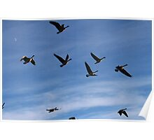 Canadian Geese flying in the sky Poster