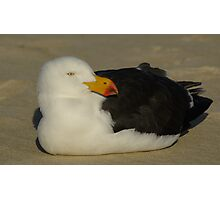 Pacific Gull laying Photographic Print