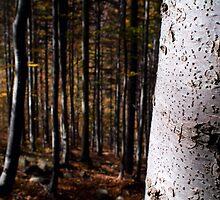 Beech by Filippo Macchi