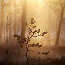 22.5.2015: Young Pine Tree by Petri Volanen