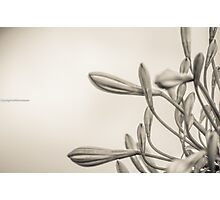 Sepia, your choice Photographic Print