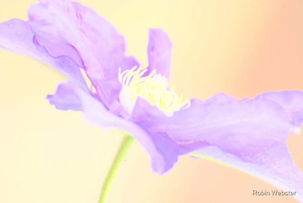 Glow of the Clematis by Robin Webster