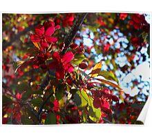 Black Cherry Blossoms in Summertime Edmonton Poster