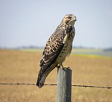 Big Foot Hawk  by Judy Grant