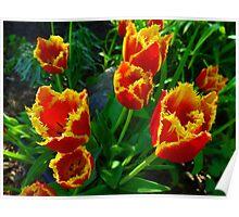 Fiery Tulips in Summertime Edmonton  Poster
