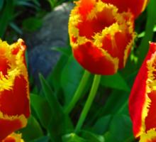 Fiery Tulips in Summertime Edmonton  Sticker
