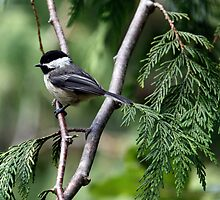 Black-Capped Chickadee In Western Redcedar by Wolf Read