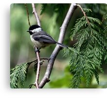 Black-Capped Chickadee In Western Redcedar Canvas Print