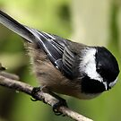Black-Capped Chickadee (2010 Calendar Jul) by Wolf Read