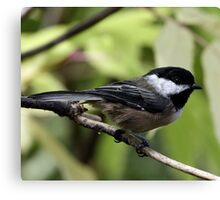 Black-Capped Chickadee (2010 Calendar May) Canvas Print