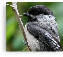 Portrait of a Black-Capped Chickadee Canvas Print