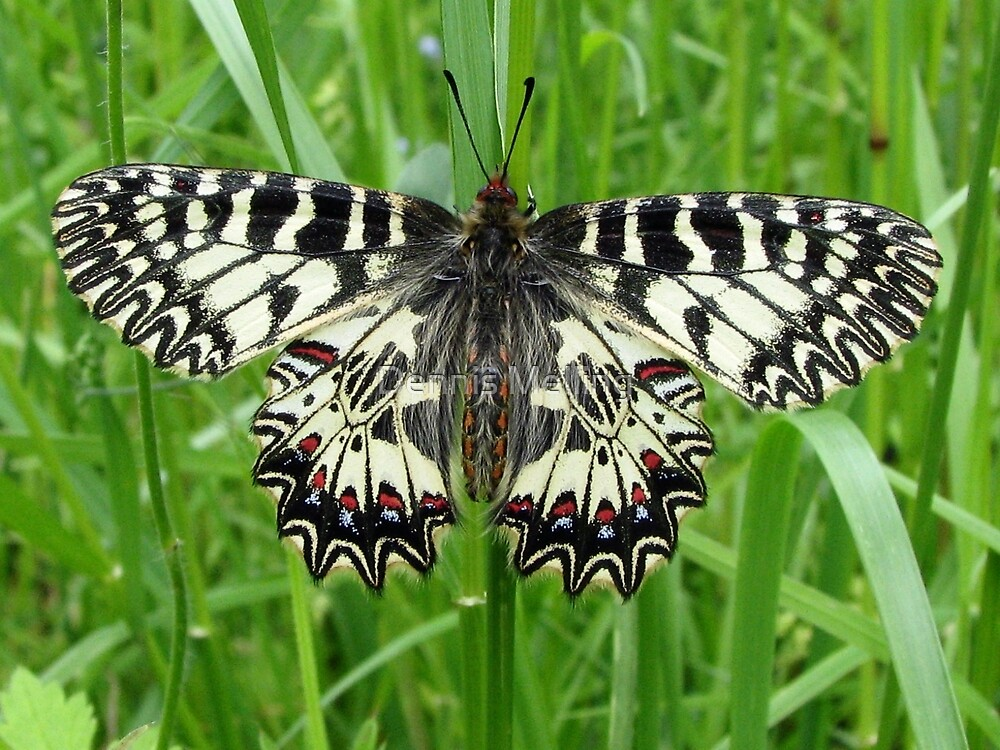 Southern Festoon from the Swallowtail Family by Dennis Melling