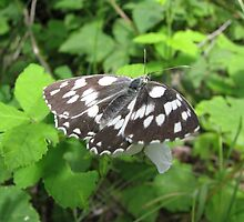 Marbled White Butterfly by Dennis Melling