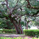 Trees in St. Augustine by BCallahan