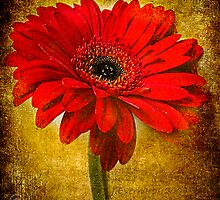The Golden Gerbera by Julie Everhart