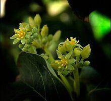 Avocado Flowers by Lydia Marano