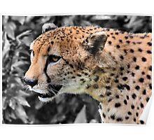 Cheetah Closeup Poster