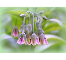 Sicilian Spice Lily Photographic Print