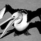 """Rogue Pelican"" Monkey Mia, Western Australia by wildimagenation"
