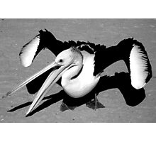 """Rogue Pelican"" Monkey Mia, Western Australia Photographic Print"