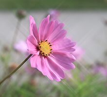 Pink Daisy by terrijoyce