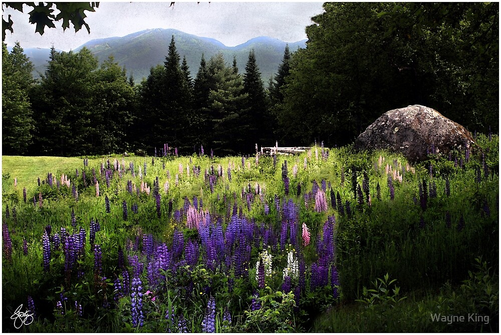 Lupine in the Shadow of Cannon by Wayne King