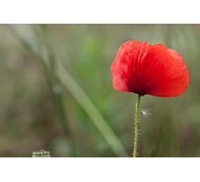 poppies in the garden Photographic Print