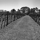 Down the Vineyard BW by Glen-Michael Pepprell
