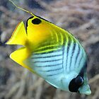 Threadfin Butterflyfish by stine1