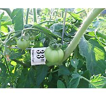 Green (thumb) Tomato Photographic Print