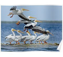 White Pelicans on the Move Poster