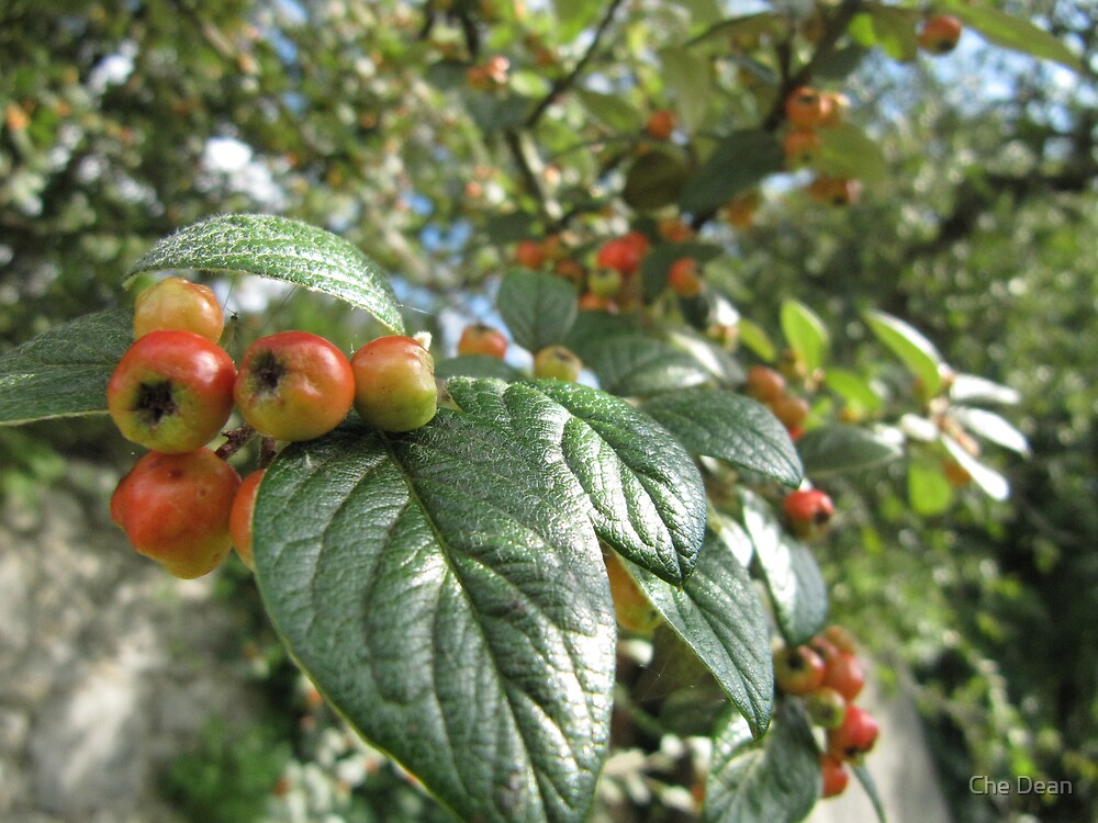 Crab Apples by Che Dean