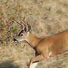 Whitetail Buck by SKNickel