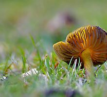 Withering Blackening Waxcap by relayer51