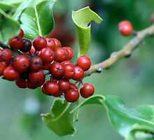 European Holly Full of Red Drupes by Wolf Read