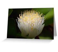 Haemanthus Greeting Card