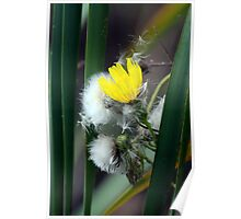 Yellow Hawkweed Blossom and Seeds Amid Cattails Poster
