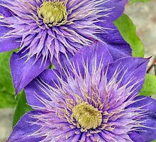 Purple Clematis Flowers by Kenneth Keifer