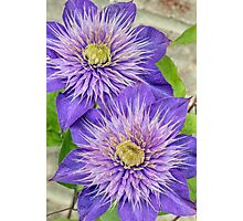 Purple Clematis Flowers Photographic Print