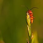 Soldier Beetle on Top of the World by kernuak