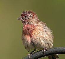 Puffed up, Proud, and Perky Finch by Bonnie T.  Barry