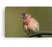 Puffed up, Proud, and Perky Finch Canvas Print