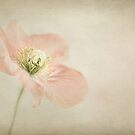 Pastel poppy by Mandy Disher