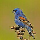 Blue Grosbeak by photosbyjoe