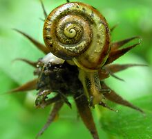 Beauty In A Spiral: Snails by Carla Wick/Jandelle Petters