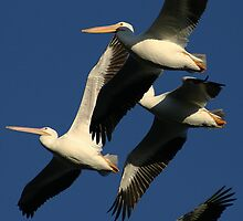 White Pelicans by fsmitchellphoto