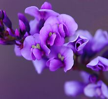 Purple - Australilan Native Lilac by Mark Richards